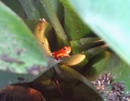 costa-rica-frog